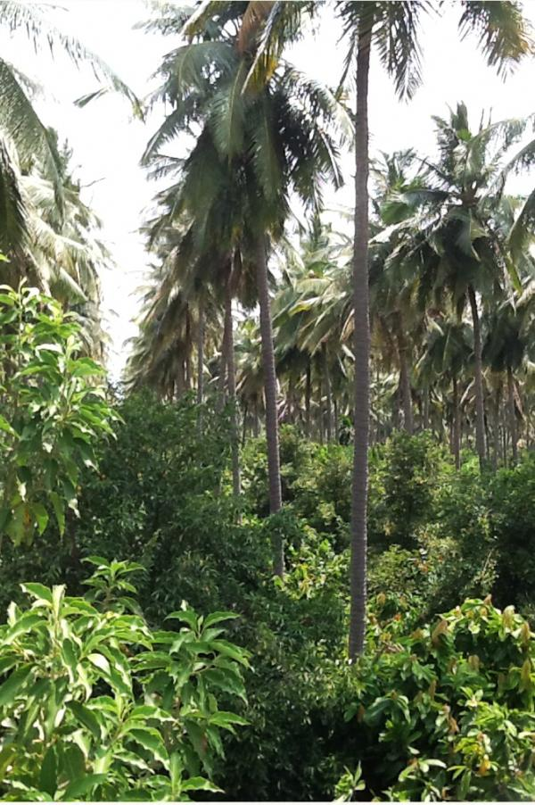 Coconut palms under planted with nutmeg and cocoa trees.