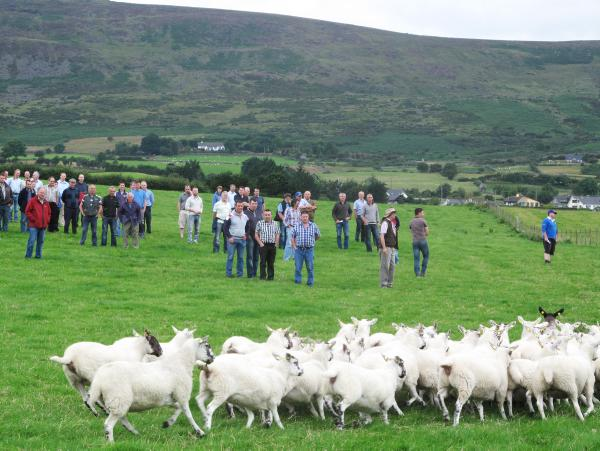 Mule and Texel cross hoggets on Anthony McShane's farm in Carlingford County Louth