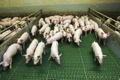 Ireland's pig industry: a sector in silent crisis