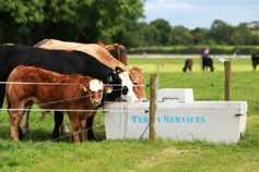 Cattle supplies to be tighter than expected - ICMSA