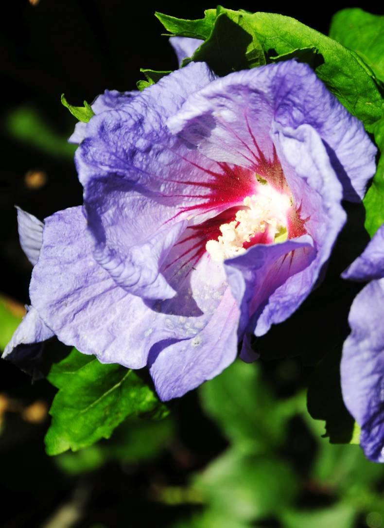 gardening blue bird hibiscus 01 september 2016 premium. Black Bedroom Furniture Sets. Home Design Ideas