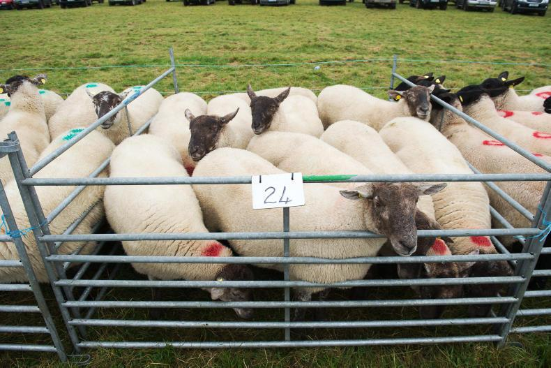 Cooley sheep sale prices and faces in the crowd 14 September