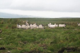 Listen: GPS trackers to deter sheep thieves
