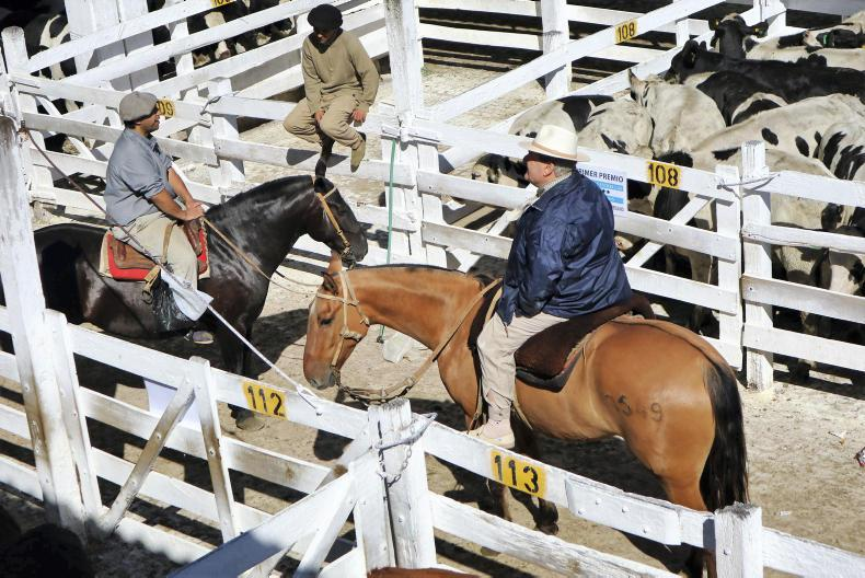 All cattle drovers are on horseback and stock are moved in an extremely efficient way. 3,700 animals were sold in 95 minutes.
