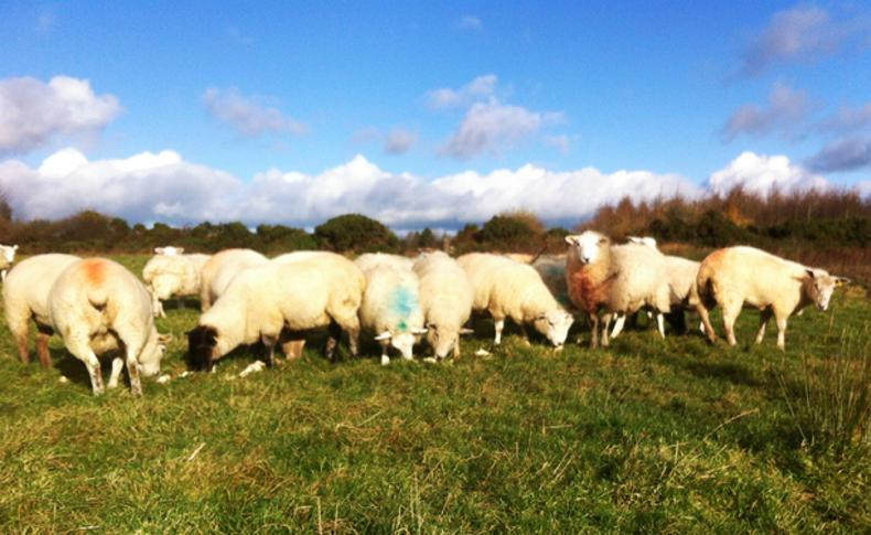 Kieran Sullivan's sheep are introduced to fodder beet.