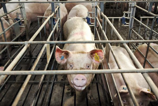 Teagasc is forecasting a price decrease of 2% for pigmeat in 2017.