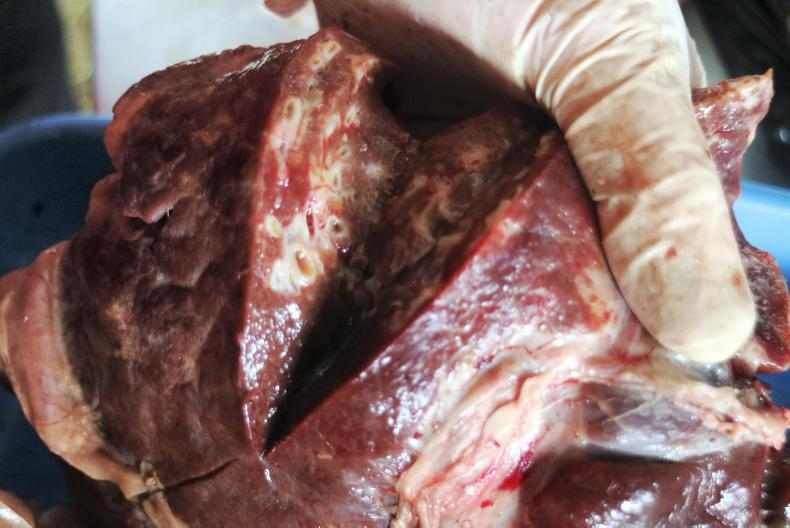 A liver with evidence of fluke. The tissue should be a healthy pink consistency.