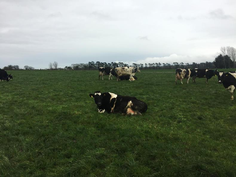 Cows grazing in mid-February in Lyons Estate. The post grazing residual was measured at 490kgDM/ha