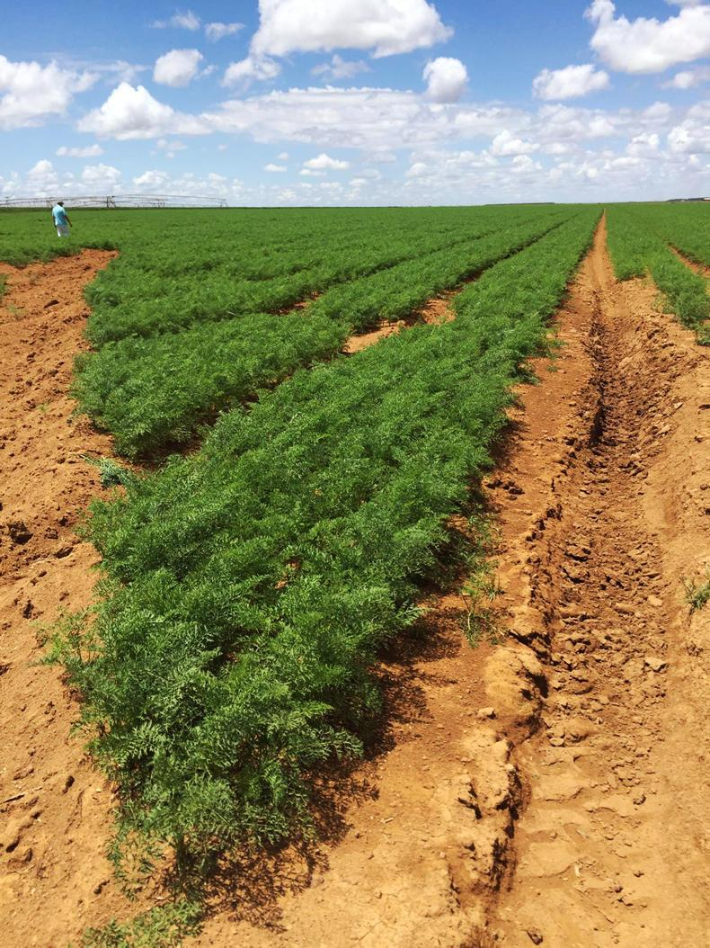 The farm also grows 200ha of carrots.