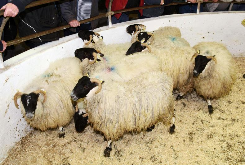 These nine hoggets, weighing 44kg on average sold for €93 each.
