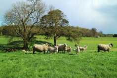 Over two million ewes in €10/ewe sheep scheme
