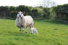 Ewes put on a good show at lambing