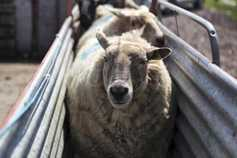 Focus on sheep handling: planning for greater efficiency