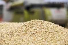 Softer tone to new-crop markets