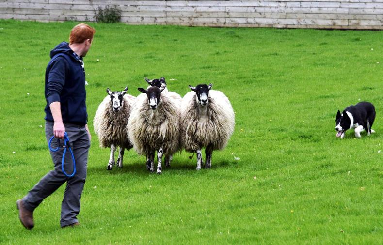 In Pictures Irish Farming Couple Are Top Dogs At Sale Of Working