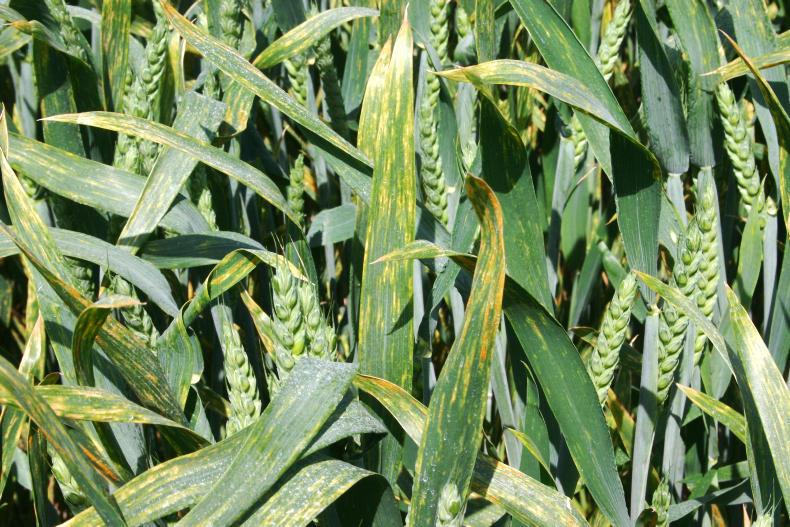A fungicide treated crop should quickly stop most active sporulation but the footprint of the lesions do not go away.