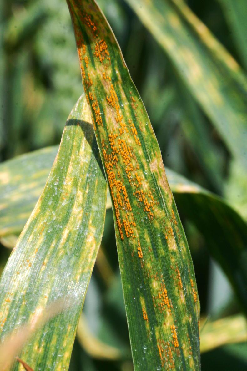 Yellow rust can quickly destroy the majority of green tissue on a leaf.