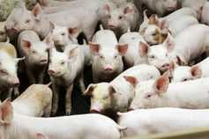 EU pig prices no longer rising