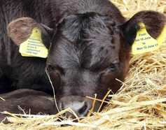 New cattle tags temporarily suspended in Northern Ireland