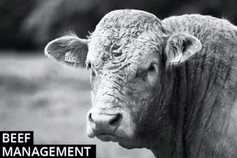 Beef management: separating bulls and heifers