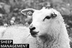 Sheep management: TAMS II deadline