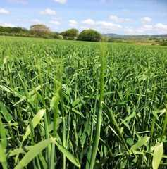 Barley disease management: Know your crop