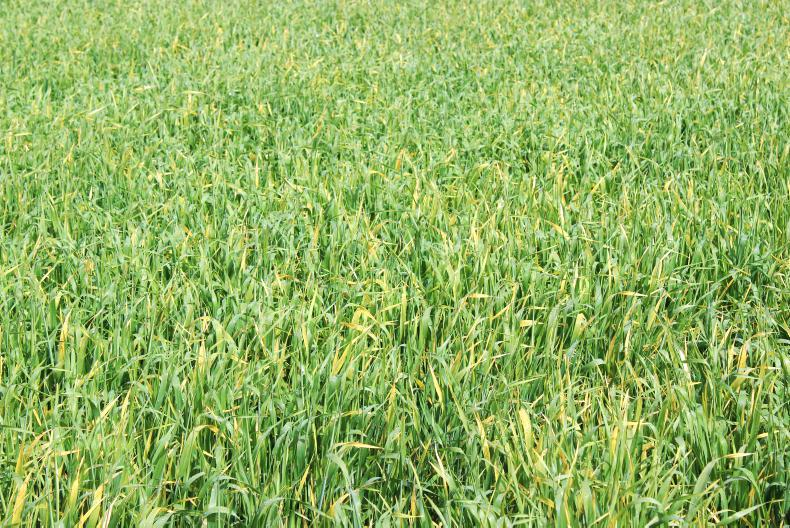 Picture 1. There were a lot of yellow leaves in this crop of Planet spring barley. The yellowing symptoms were generally on the second-last leaf and only a small proportion of plants had the yellow symptom appearing on the flag leaf at that point.