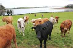 Cattle prices steady as strong kill continues, lamb trade rebounds in NI