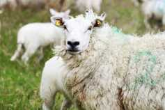 Technical performance drives profitability on sheep farms