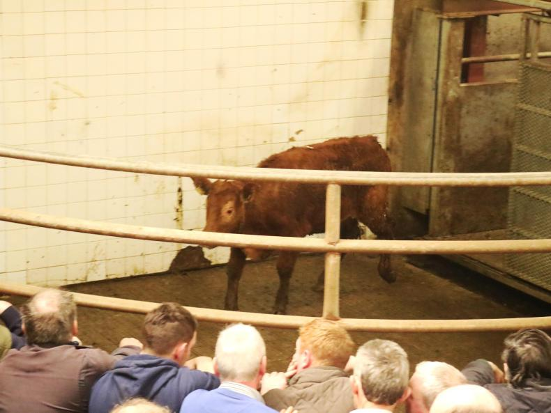 This Charolais cross heifer, born August 2015 and weighing 430kg, sold for €1,000 (€2.33/kg).