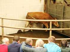 Short-keep steers and heifers brisk; quality stores firm