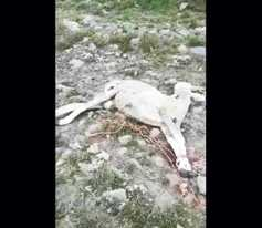 Watch: one sheep dead and more injured in dog attack