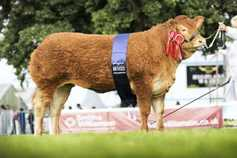 Limousin triumphs at  Highland Show