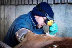BETTER farm: interpreting your ICBF calving report – part 1