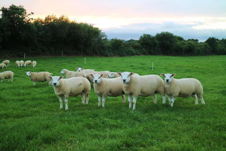 Is Sheep Ireland Delivering For Irish Sheep Farmers 21 July 2017 Premium