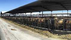 Nuffield blog: a 2,000-strong pedigree Jersey herd in California