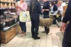 Pictures: sheep goes shopping in supermarket