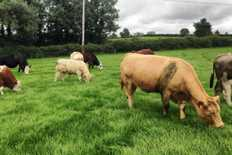 Farmer writes: summer mastitis and weighing calves