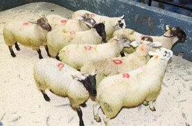 Short supply of  lambs keeps price firm