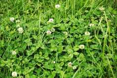 The dilemma of clover when reseeding