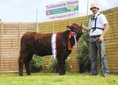 Increased numbers for Salers calf championships