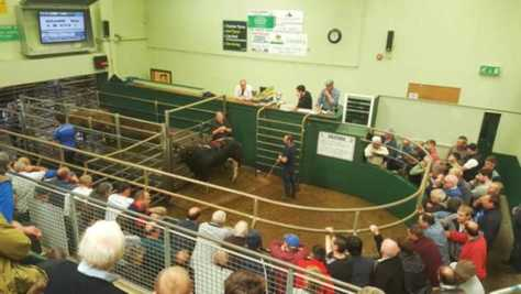Buyers paying extra for quality bull weanlings at Kenmare