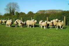Outstanding Belclare sheep on display