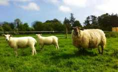 Farmer Writes: new lambing plans and unintended outcomes for 2018