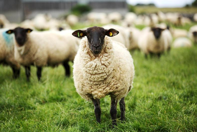 Both ewes had kidney infections and bladder infections. \ Donal O'Leary