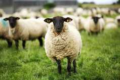 Incorrect placement of hormonal sponges led to death of two ewes