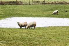 Sheep management: managing low grass dry matter