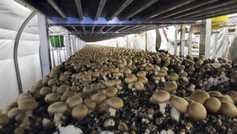 Sterling drop benefits NI mushroom sector