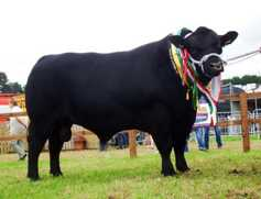 In pictures: top five pedigree cattle at Ploughing 2017