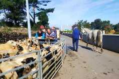Watch and listen: striking a deal at the sheep fair in Camp, Co Kerry